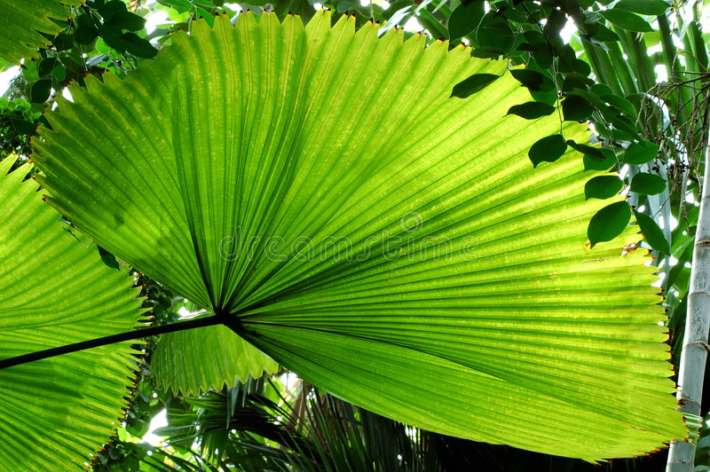 Folha de palmeira do ventilador imagens de stock royalty free