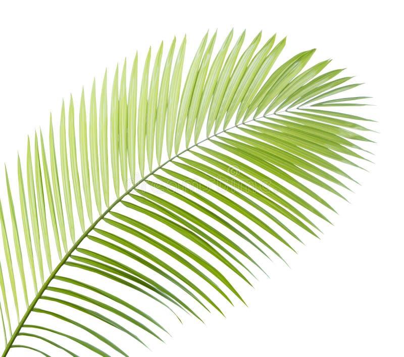Folha de palmeira isolada imagens de stock royalty free