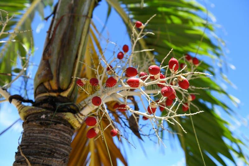 Folha de palmeira de Manila e céu azul foto de stock royalty free