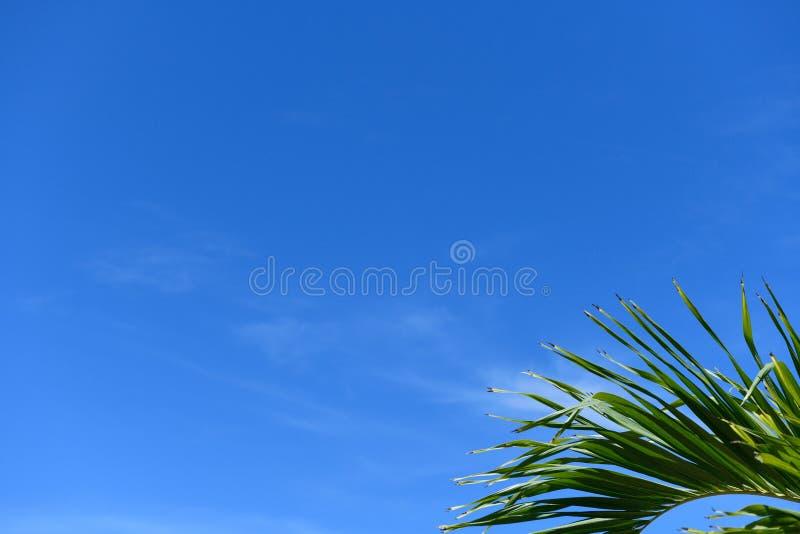 Folha de palmeira de Manila e céu azul fotografia de stock royalty free
