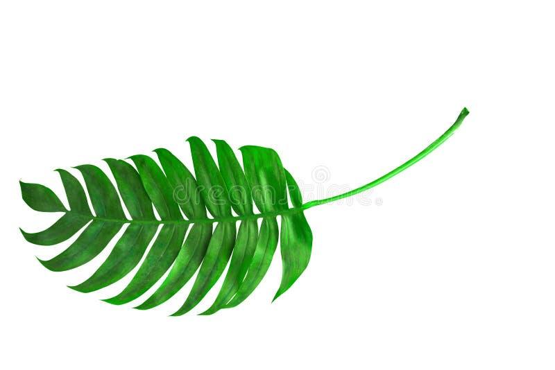 Folha de palmeira tropical isorated Vista superior foto de stock