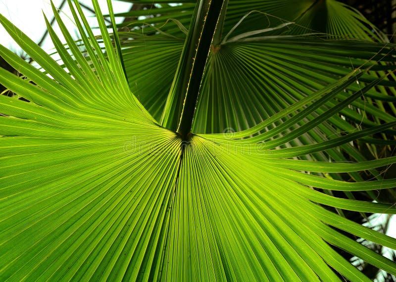 Folha de palmeira tropical no jardim, folhas verdes da planta tropical da floresta para o teste padrão da natureza e fundo foto de stock