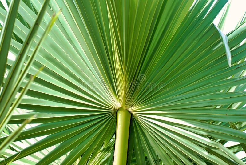 Folha de palmeira verde do açúcar no branco imagens de stock