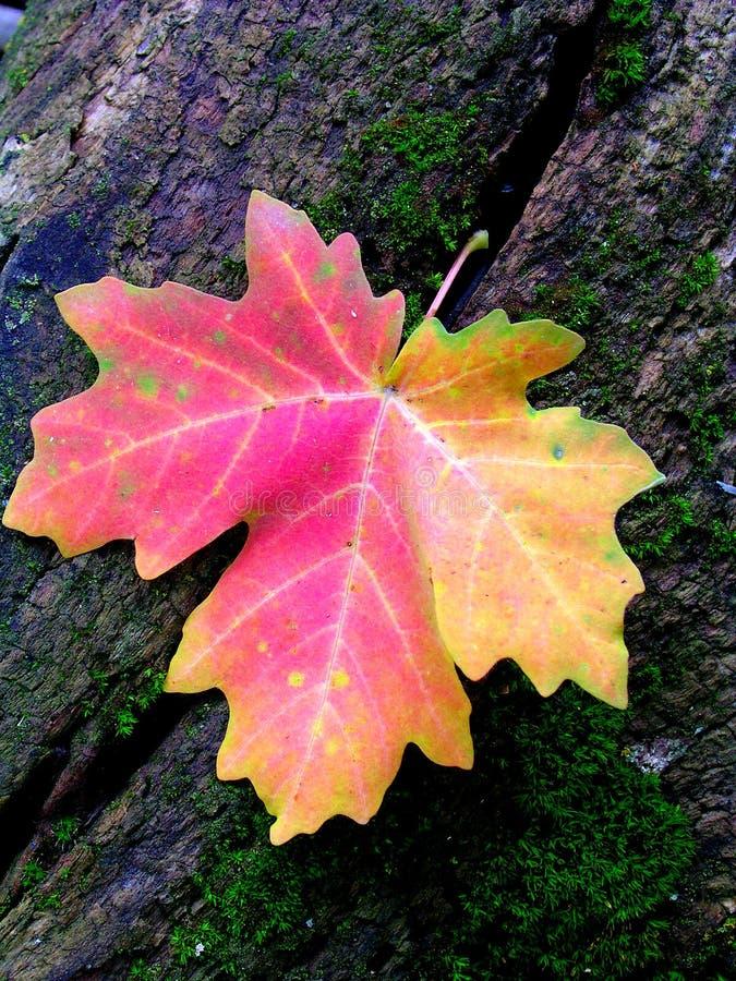 Folha de plátano vermelha do outono no coto Mossy da árvore fotos de stock royalty free