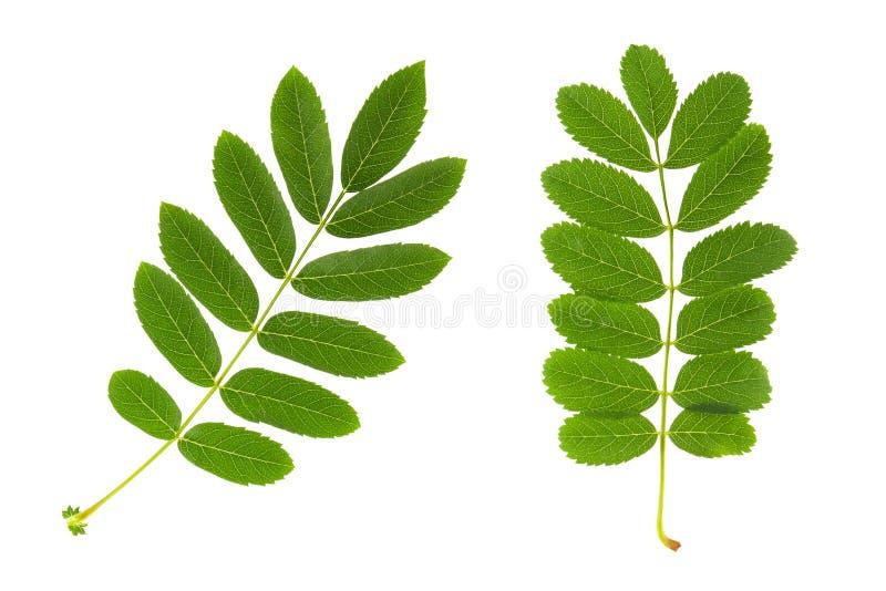 Folha de Rowan Duas folhas verdes frescas da árvore de Rowan isoladas no fundo branco fotografia de stock royalty free