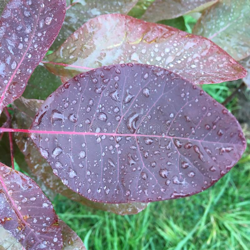 Folha de Smokebush coberta em gotas de água após a chuva foto de stock royalty free