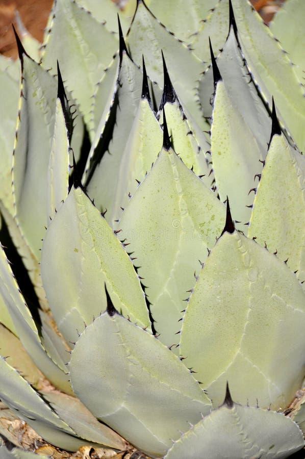 Folha derrubada preto da agave fotografia de stock