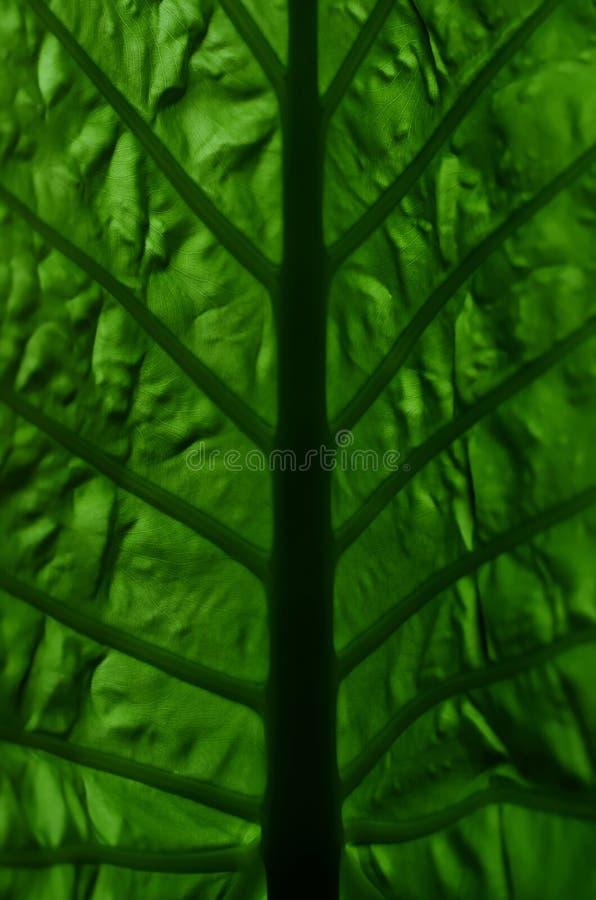Folha do Alocasia foto de stock royalty free