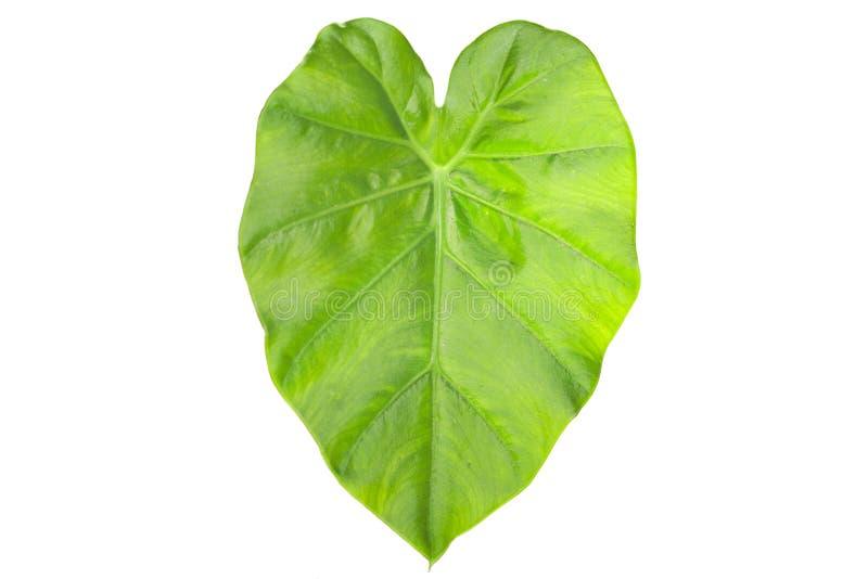 Folha do Caladium do verde da folha de Tayoba, orelha de elefante isolada em b branco fotos de stock