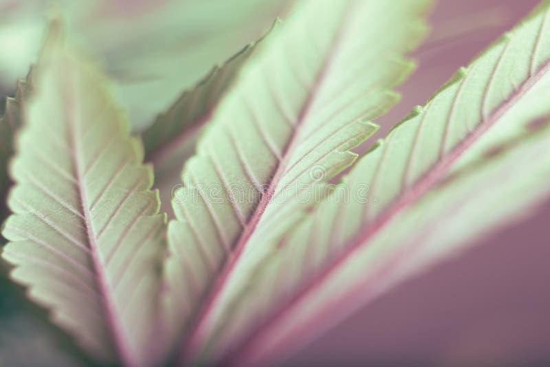 Folha do cannabis fotos de stock royalty free