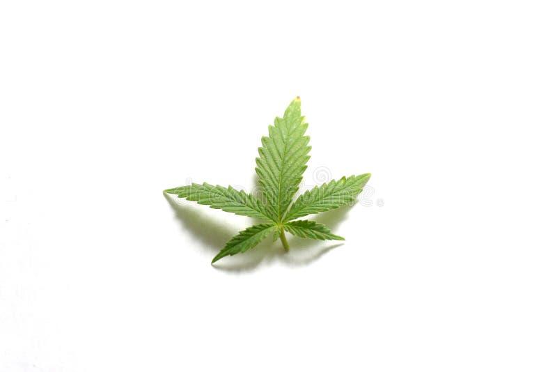 Folha do cannabis foto de stock royalty free