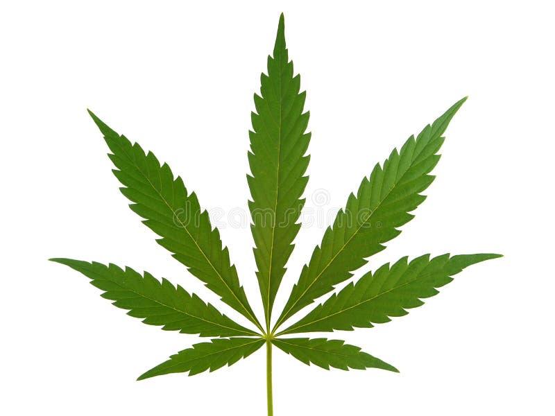 Folha do cannabis, folha da marijuana imagens de stock