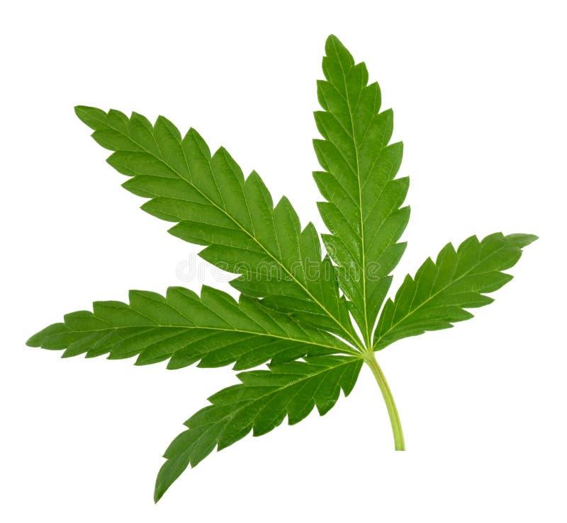 Folha do cannabis isolada no branco sem sombra imagens de stock