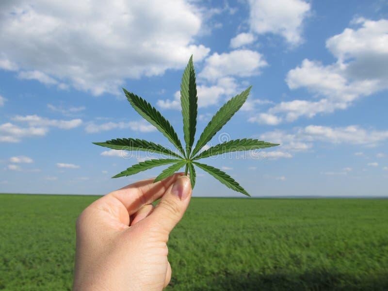 Folha do cannabis na mão contra um céu nebuloso azul e um campo verde foto de stock
