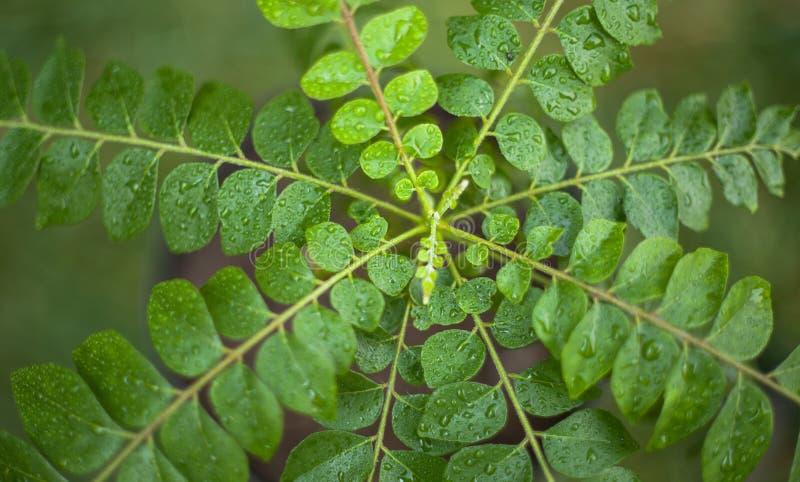 Folha do caril, árvore do caril imagem de stock royalty free