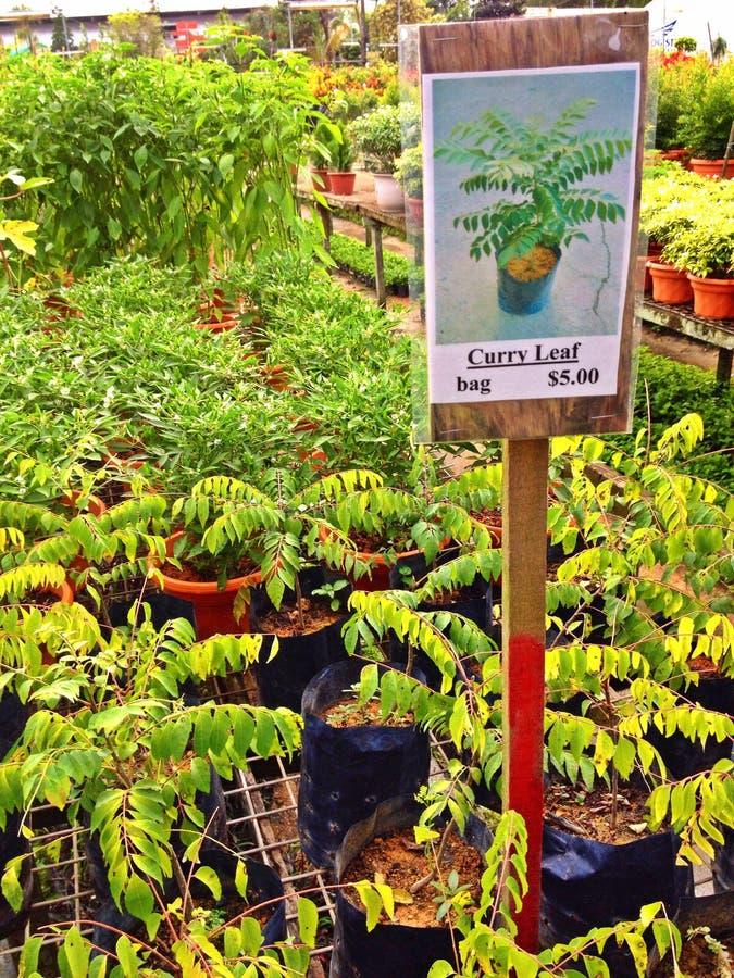 Folha do caril - planta em pasta fotografia de stock