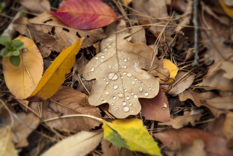 Folha do carvalho com gotas da água Folhas caídas coloridos e agulhas do pinho na floresta fotos de stock