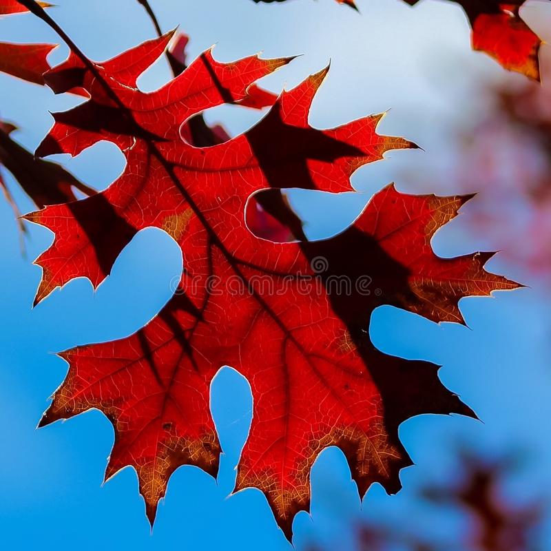 Folha do carvalho vermelho foto de stock