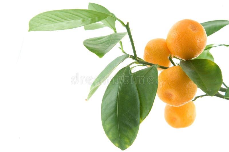 Folha do citrino imagem de stock royalty free