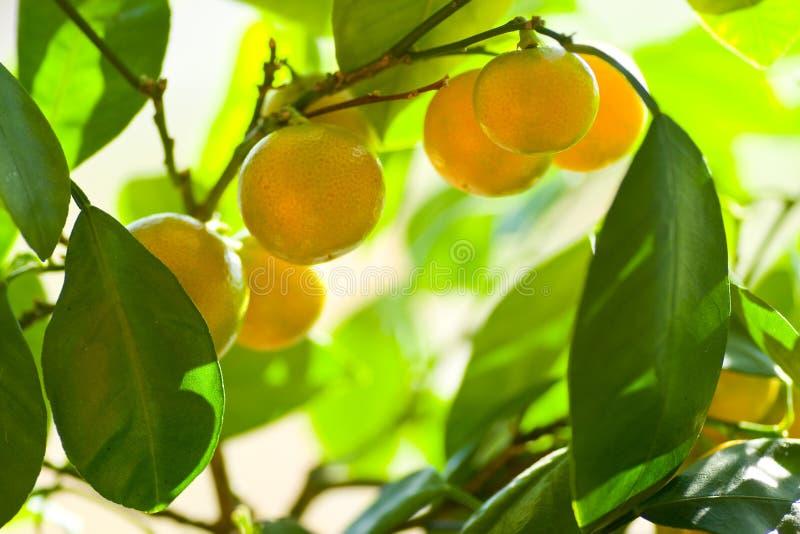 Folha do citrino imagens de stock