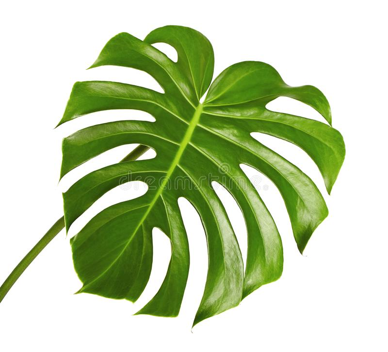 Folha do deliciosa de Monstera ou planta do queijo suíço, folha tropical isolada no fundo branco foto de stock royalty free