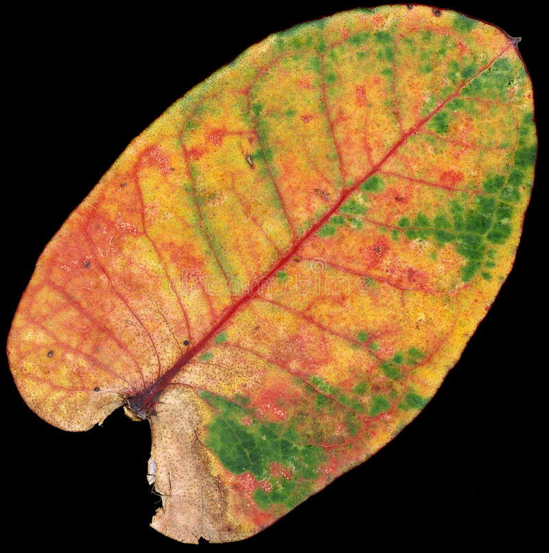 Folha do eucalipto imagens de stock royalty free