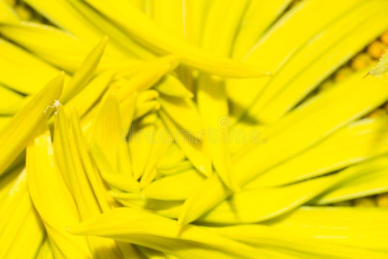 A folha do girassol na natureza imagem de stock royalty free