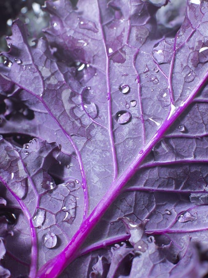 Folha do Kale fotos de stock