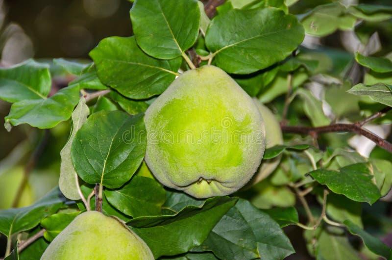 Folha do marmelo e fruto de amadurecimento imagem de stock royalty free