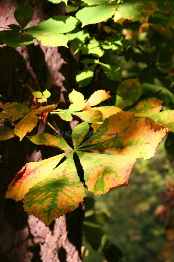 Folha do outono com claro-escuro foto de stock
