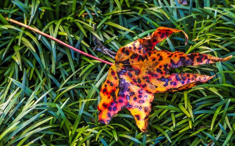 Folha do outono na grama verde foto de stock royalty free