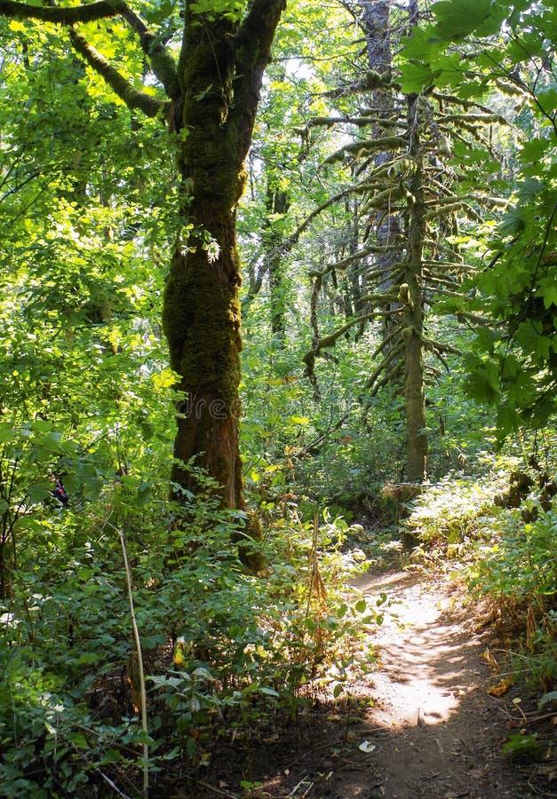 Folha do verão, Eagle Creek, desfiladeiro do Rio Columbia, Oregon fotografia de stock