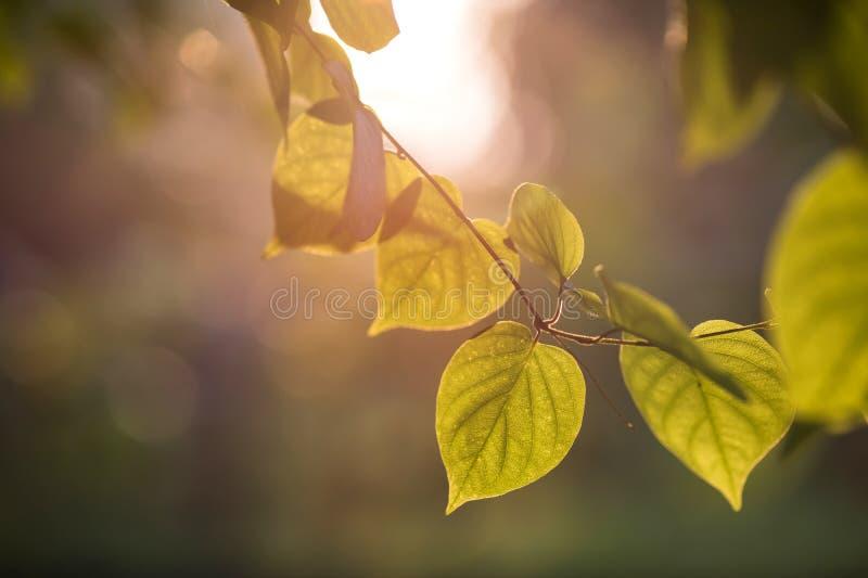 folha do verde do bodhi no por do sol fotografia de stock royalty free