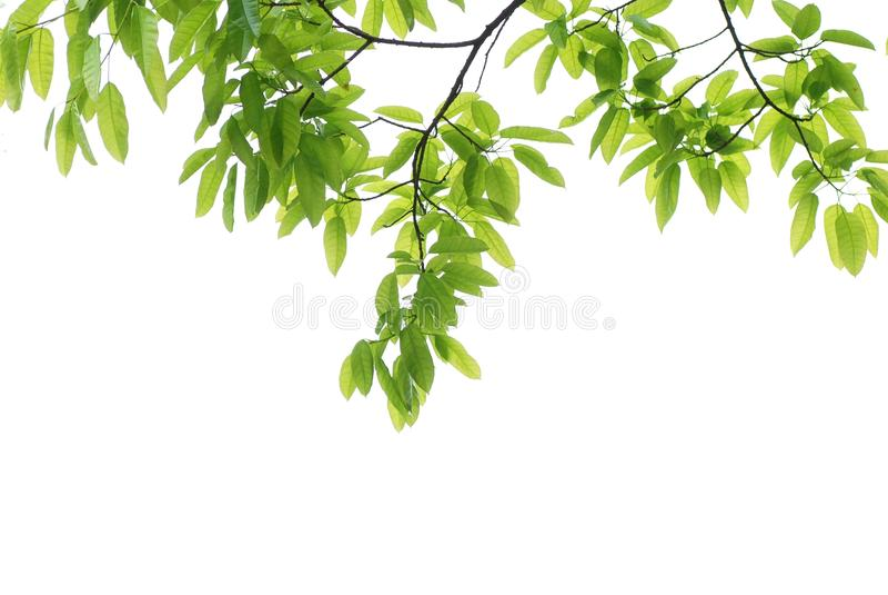 Folha do verde da natureza da mola foto de stock