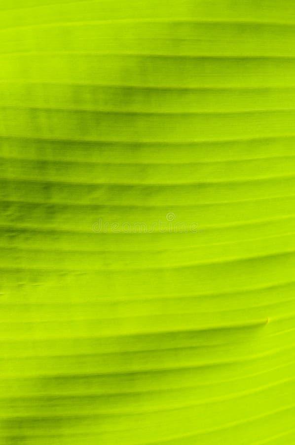 Folha do verde da palmeira da banana fotos de stock