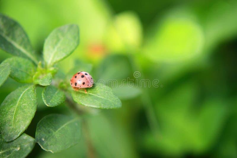 Folha do verde do joaninha em um dia ensolarado fotos de stock