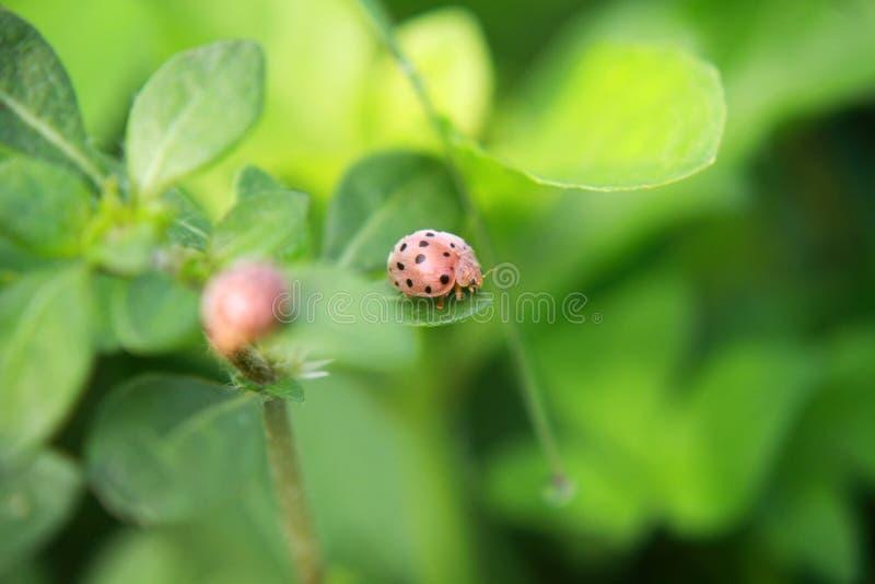 Folha do verde do joaninha em um dia ensolarado imagens de stock