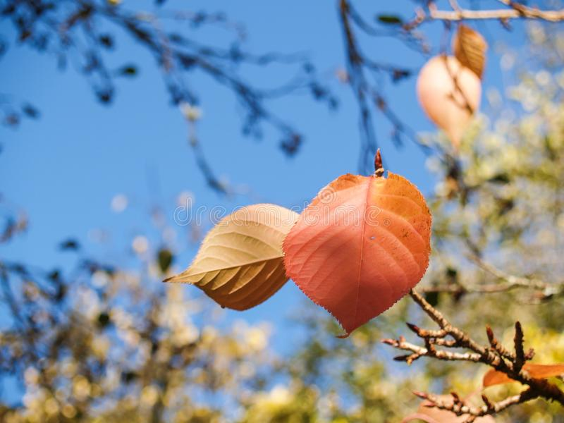 A folha do vidoeiro vermelho está para fora contra outras cores do outono fotografia de stock royalty free