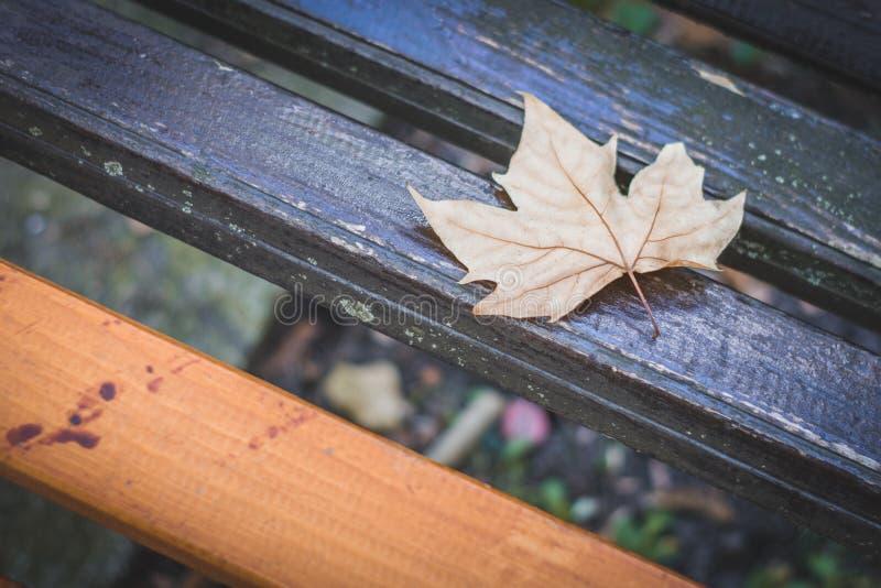 Folha dourada caída da árvore de bordo, conceito do outono foto de stock royalty free