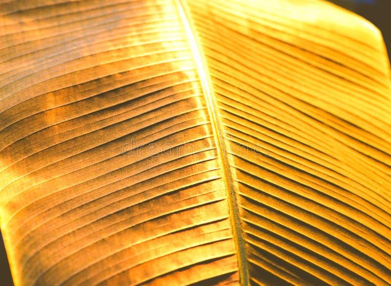 Folha dourada da banana da palma, fundo tropical imagem de stock
