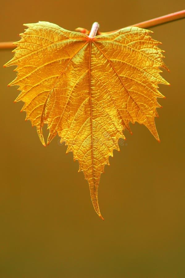 Folha dourada da uva fotografia de stock royalty free
