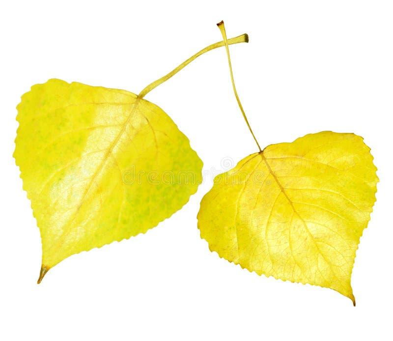Folha dourada do álamo tremedor imagens de stock