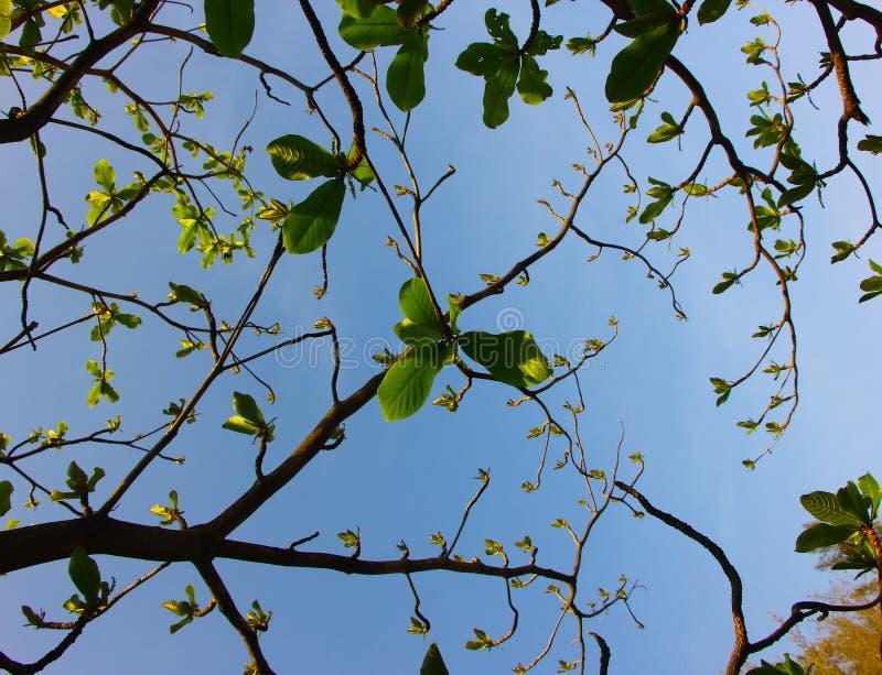 Folha e árvore da árvore de amêndoa tropical fotografia de stock royalty free