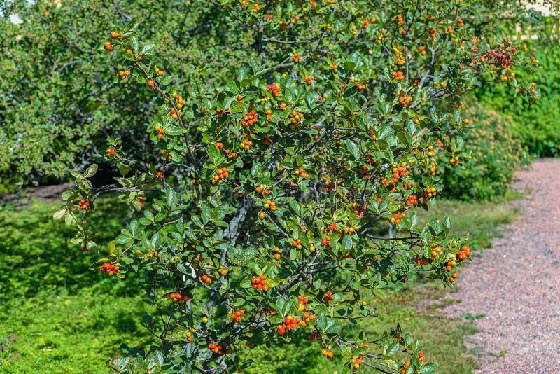 A folha e amadurece frutos do chamaemespil do Sorbus do whitebeam do anão fotos de stock