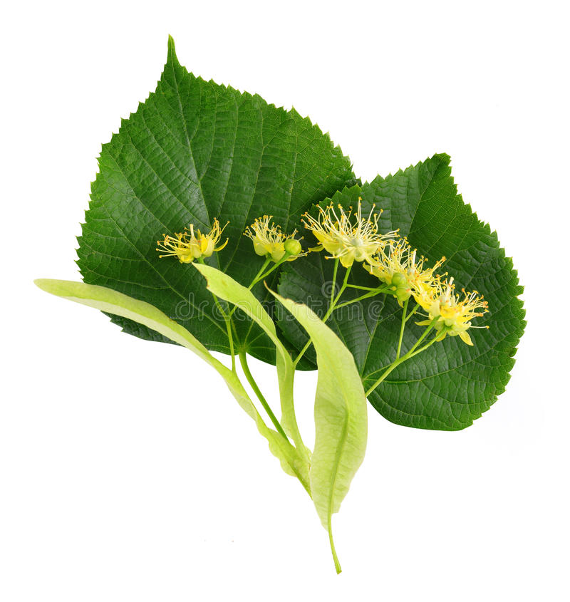 Folha e flor do Linden imagens de stock