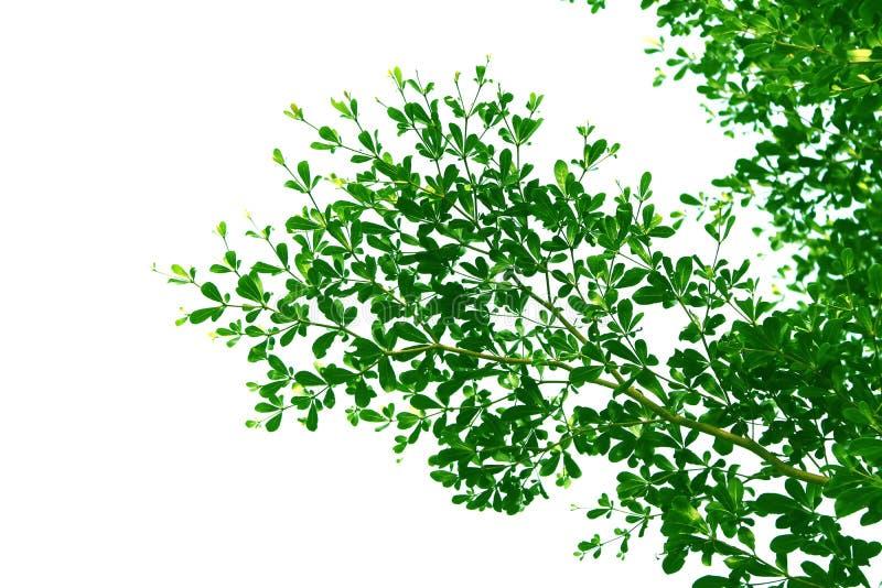 Folha e ramo verdes da árvore de amêndoa da Costa do Marfim, forma isolada no fundo branco fotos de stock royalty free
