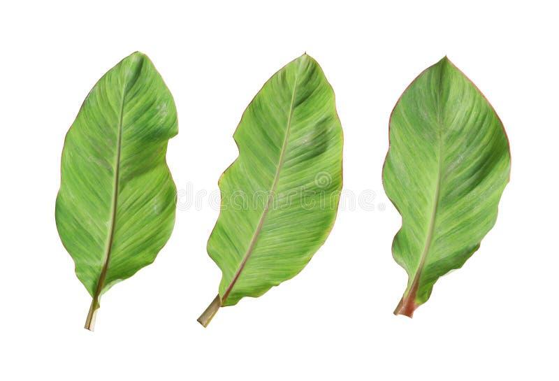 Folha fresca da banana isolada no fundo branco imagens de stock