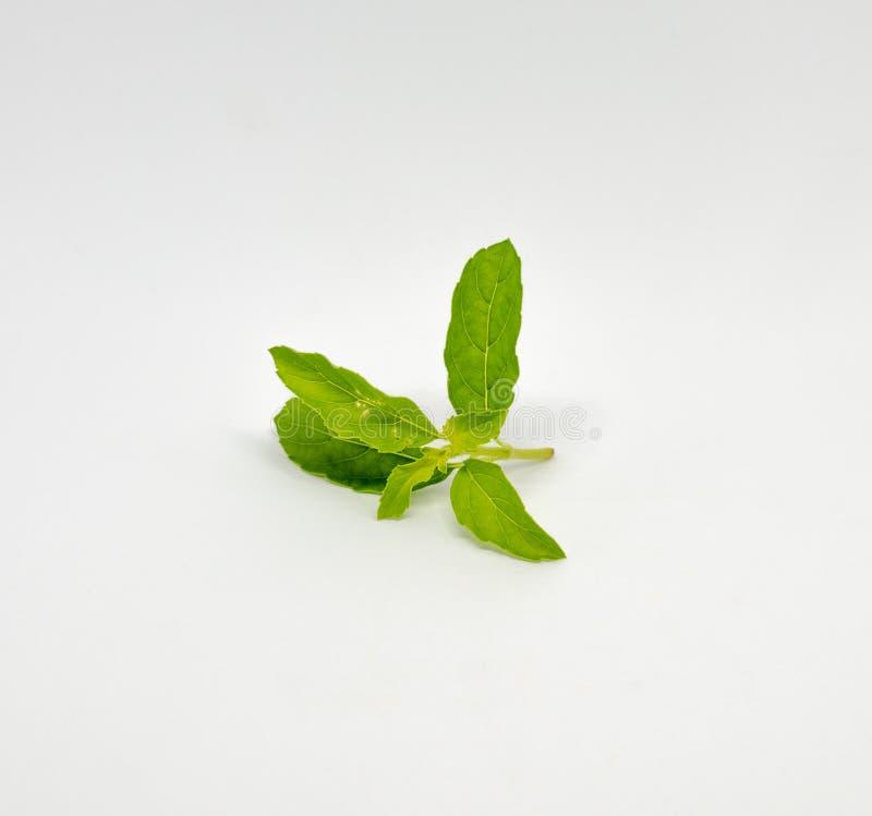 A folha fresca da manjericão na haste foi isolada no branco foto de stock