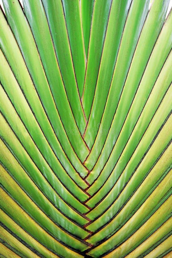 Folha grande da palmeira imagens de stock