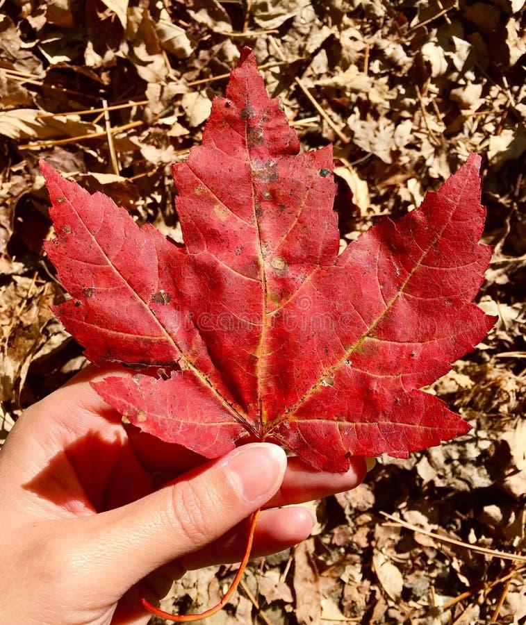 Folha grande das árvores de bordo vermelho imagens de stock royalty free